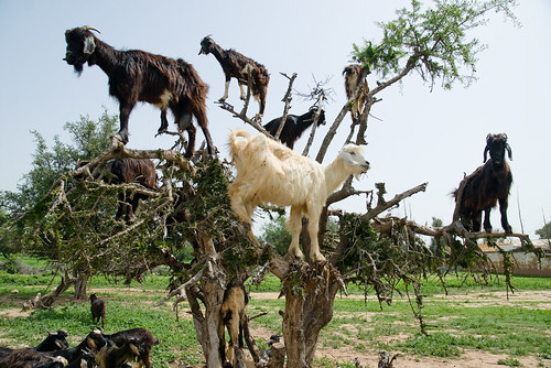 where goats come from