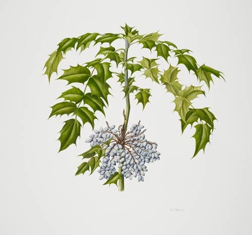 "Rose Pellicano, Mahonia bealei, 2008  Watercolor on Lanaquarelle 140 lb. hot press, 30"" × 22"". © Copyright Brooklyn Botanic Garden"