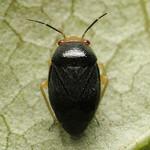sárgafejű ugrópoloska - Strongylocoris leucocephalus