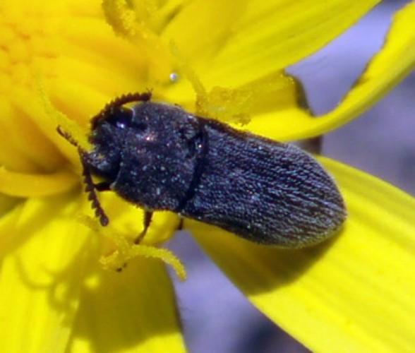 Acmaeoderella moroderi 4648831449_cc87b8b254_o
