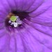 Purple Petunia center... up close and personal... Spring, 2010 by victoriaporter *