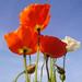 poppies in the sun by uta von naumburg