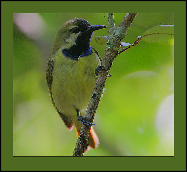 Plain-Backed Sunbird