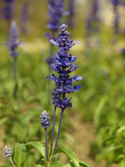 annual plant, flower, english lavender, herb, wildflower, flora,