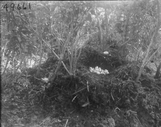 Floating nest with American alligator eggs