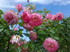 rosa rubiginosa(0.0), peony(0.0), rosa wichuraiana(1.0), garden roses(1.0), rosa 㗠centifolia(1.0), floribunda(1.0), flower(1.0), rosa gallica(1.0), plant(1.0), rosa rugosa(1.0), pink(1.0), petal(1.0),