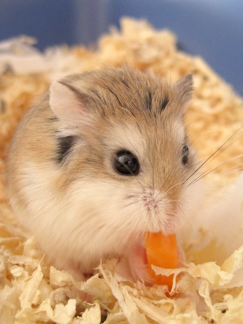 Diet For Your Hamsters
