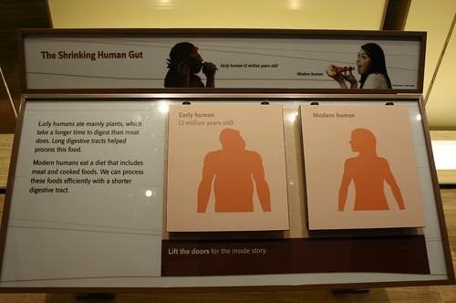 Shrinking Human Gut