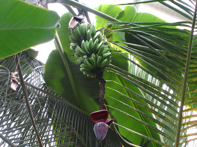 Bananas (Musa 'Brazilian') are looking good in the Tropical Pavilion. This particular tree is close to 20 feet tall. Photo by Rebecca Bullene.