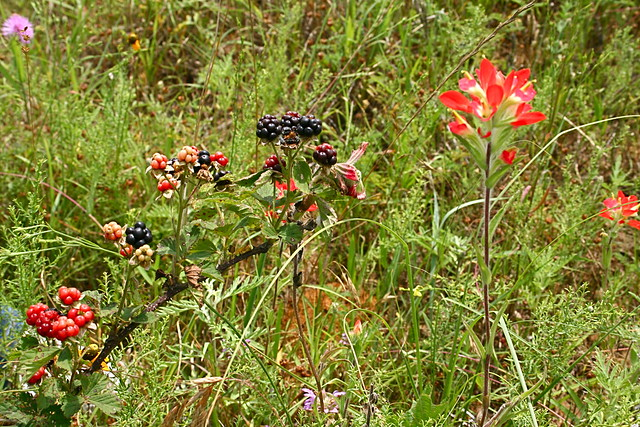 blackberries & wildflowers