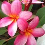 near Awase ピンクのプルメリアも咲きました。 - from Brightkite