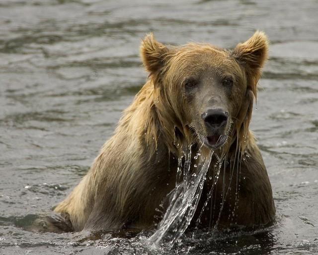Oso pardo pescando en la reserva nacional de vida salvaje de Kodiak, Alaska