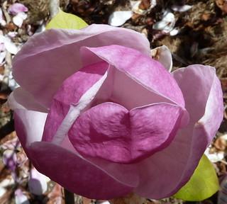 unfolding magnolia