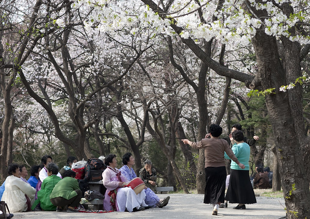 Old north korean women dancing under the cherry trees - North Korea