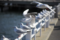 Sea gull @ Yokohama 4