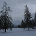Forêt de Mélèzes ©girolame