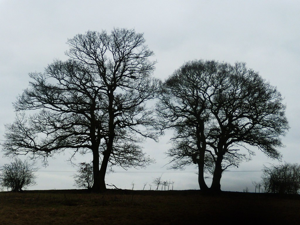 Two trees On the golf-course stretch, Welwyn Circular