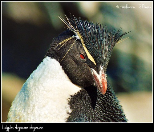 Rockhopper by zweiblumen