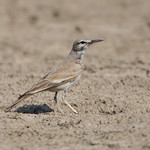 Greater Hoopoe Lark - Alaemon alaudipes