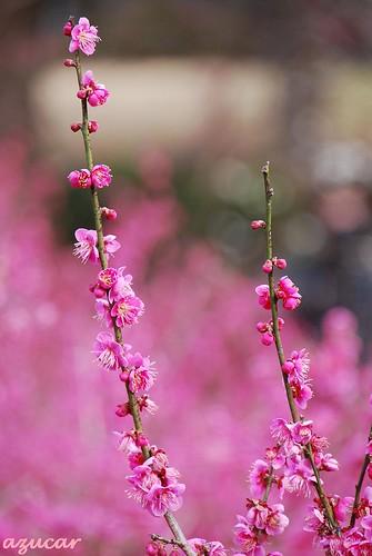 park pink flower japan nikon chiba ume d60 flowerscolors beautifulexpression bokehlicious aobanomorikōen