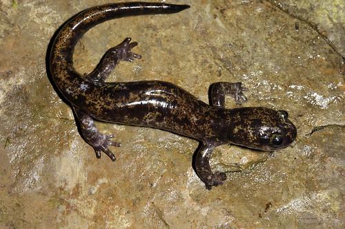 asiatic salamanders family hynobiidae inaturalist org