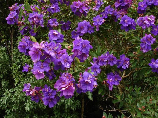 Purple Flowering Tree In Fredericksburg Texas Outside Kitchen Store