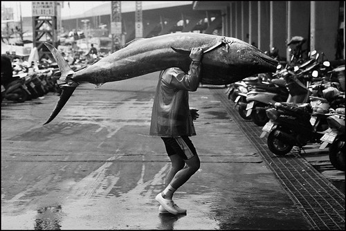 a fisherman carrys a giant black marlin  on his  shoulder on the way to tungkang fishmarket, southern taiwan. by avant1997