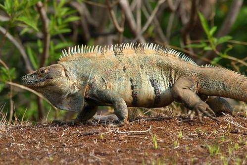 Ctenosaur (Ctenosaura similis)