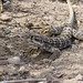 Long-nosed Leopard Lizard - Photo (c) Jeremy Yoder, some rights reserved (CC BY-NC)