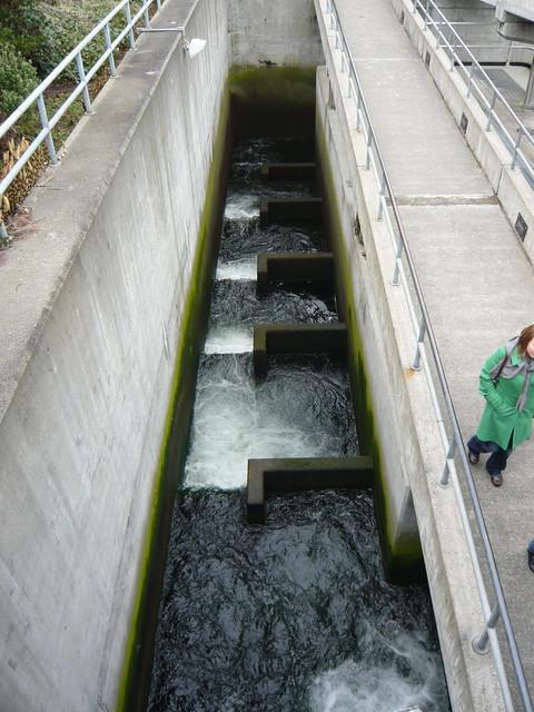 Fish ladder flickr photo sharing for Ballard locks fish ladder