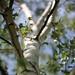 If I was a Birch by Gordana AM