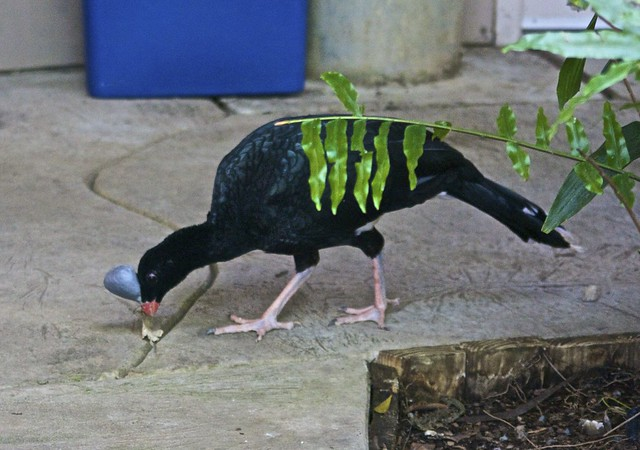 Helmeted Curassow