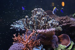 coral reef(1.0), coral(1.0), coral reef fish(1.0), organism(1.0), marine biology(1.0), invertebrate(1.0), aquarium lighting(1.0), natural environment(1.0), cnidaria(1.0), underwater(1.0), reef(1.0), sea anemone(1.0),