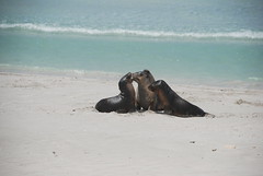Fur Seal Cubs Playing