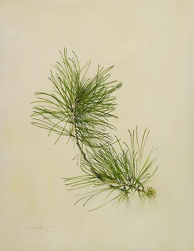 "Kate Nessler, Pinus koraiensis, 2008  Watercolor, body color and pencil on Cowley classic vellum, 14"" × 11"". © Copyright Brooklyn Botanic Garden"