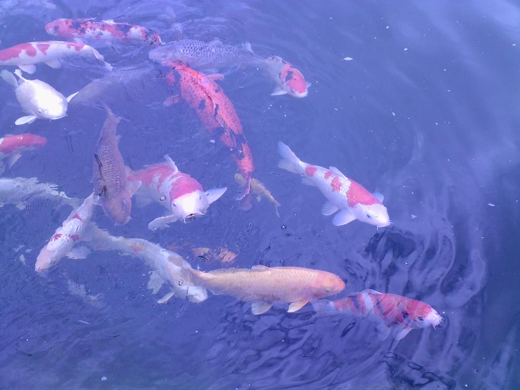 Big ones koi and carp forum pond life for Virtual koi fish pond