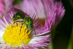 Agapostemon Sweat Bee III @ 1:1
