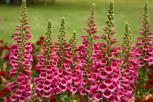 Digitalis Purpura