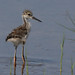 Black-necked Stilt - Himantopus mexicanus - Chick