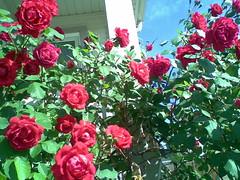 rosa rugosa(0.0), rosa wichuraiana(1.0), shrub(1.0), garden roses(1.0), rosa 㗠centifolia(1.0), floribunda(1.0), flower(1.0), rosa gallica(1.0), plant(1.0), petal(1.0),