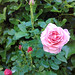 pink rose bush in the garden by pand0ra23