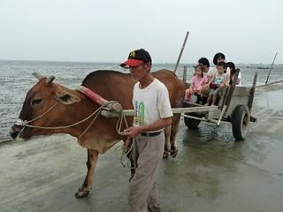彰化海岸溼地上的牛車,原本是到蚵田採蚵的運輸工具,深具文化意涵,成為此地特色。