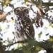 little owl by bojangles_1953