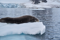 Moulting Leopard seal