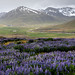 Lupines in the Westfjords by Jen St. Louis