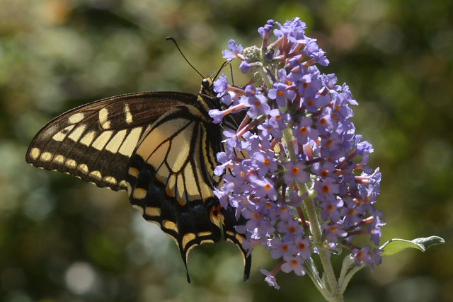 Anise Swallowtail (Papilio zelicaon) butterfly