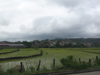 Rice paddies in Ecuador