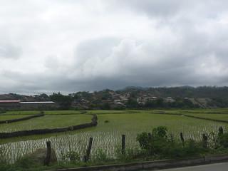Rice paddies in Ecuador