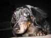 Roxy the Doxie