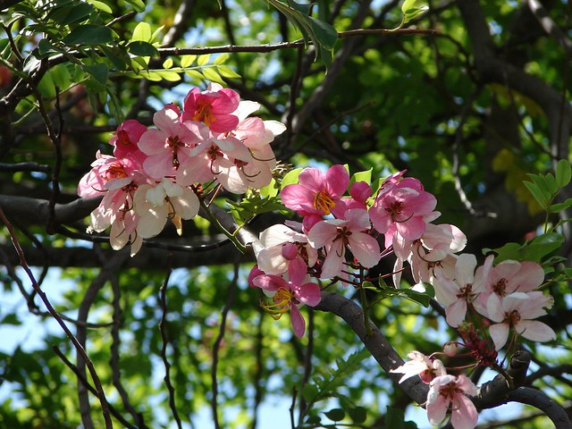 Pink shower tree - Cassia javanica